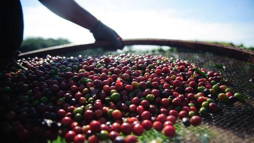 A colheita de safra de café-arábica do Brasil deve impactar a produção de café especial