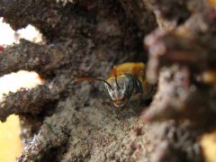 Meliponicultura: criação de abelhas-sem-ferrão vem crescendo