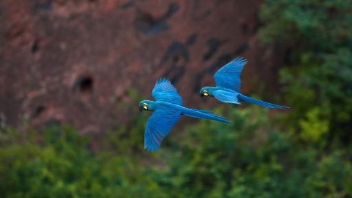 Com mais de 450 espécies de aves, a Caatinga é recheada de sons