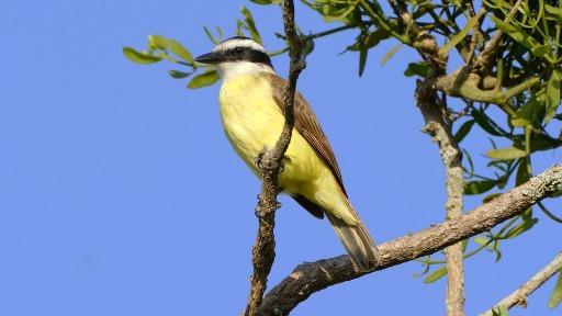 Você sabia que o nome das aves Carcará, Bem-Te-Vi e Saci remetem a seus cantos?