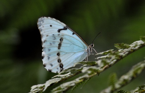 Borboleta-da-coronilha