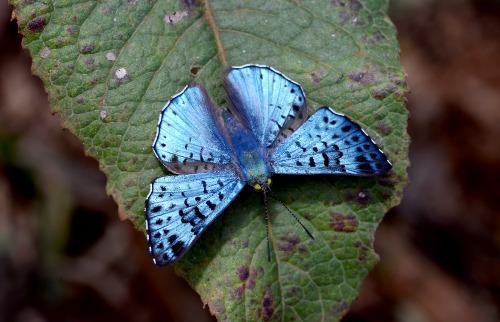 Borboleta-metálica-azul