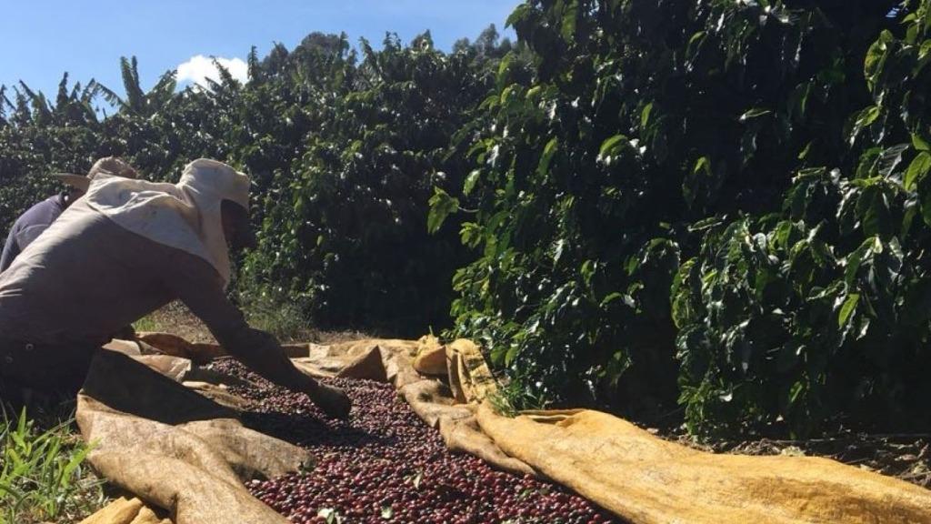 Setor cafeeiro é responsável pela geração de mais de 8 mi de empregos