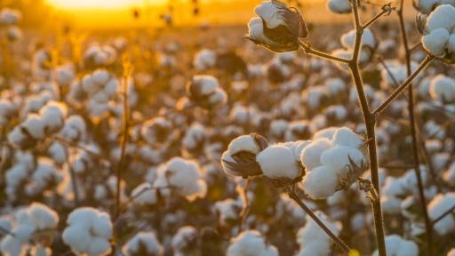 Confira o Zoneamento Agrícola de Risco Climático ano-safra 2021/2022, para o cultivo de algodão