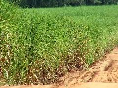 Danos ambientais causados por fenômenos climáticos impactam na falta de matéria-prima na produção da cana-de-açúcar