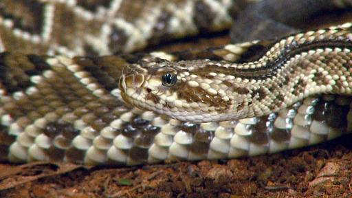 Uma das serpentes mais temidas; saiba mais sobre a cascavel