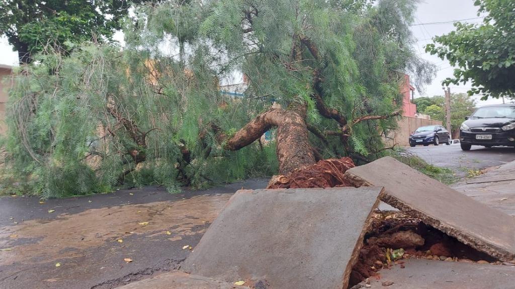 Árvore cai e quase atinge veículos no bairro Santa Angelina