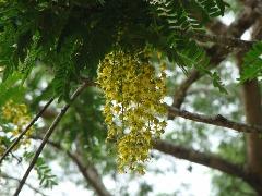 Chuva-de-ouro