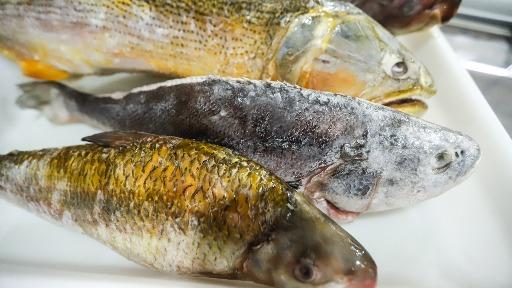 Como a carne de peixe ajuda nos problemas cardiovasculares?