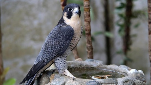 Você sabia que o animal mais rápido do mundo é uma ave?