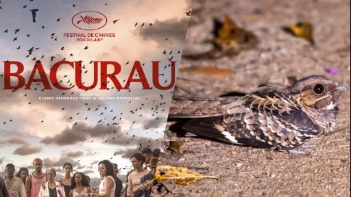 Bacurau, dos ares ao cinema... conheça o pássaro que deu nome ao premiado filme brasileiro
