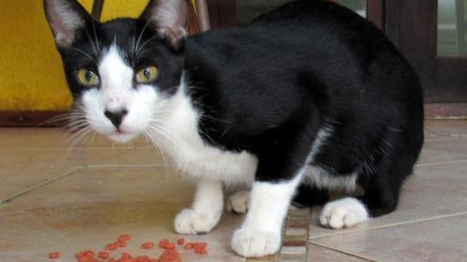 Domesticar gato pode afetar a evolução do animal?