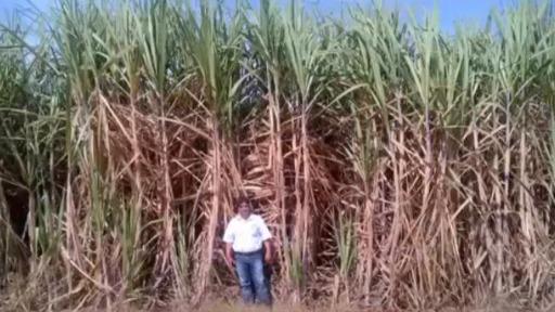 Conheça os mitos da irrigação na cultura de cana-de-açúcar