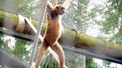 Você sabia que o maior primata das américas vive no Brasil?