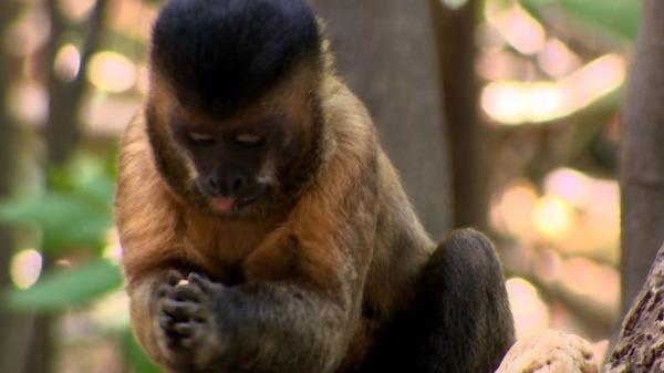 Descubra o porquê do Macaco-Prego ter esse nome