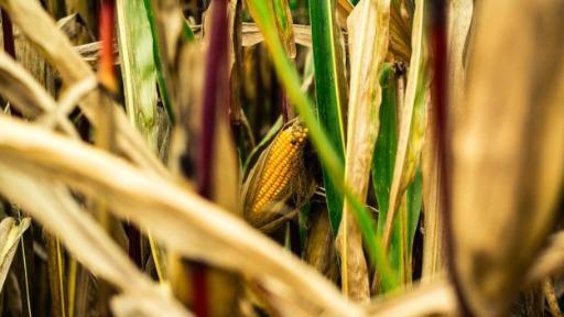Produção de milho em queda