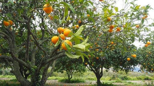 Incidência de greening volta a cair na citricultura da região