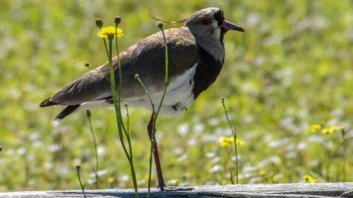 Conheça o canto do Quero-Quero, ave que pode ser observada em áreas planas e de vegetação rasteira