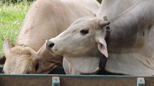 Carne bovina lidera exportações de proteína animal, em agosto